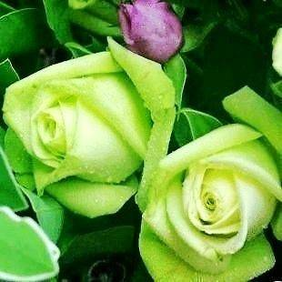 green rose plant