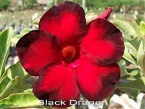 Black Dragon Adenium Obesum/Desert Rose Seeds