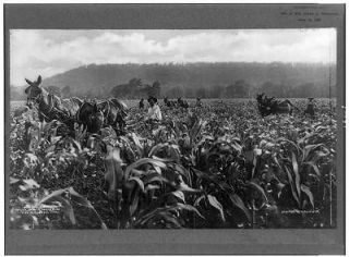 Cultivating corn near,farming,horse drawn equipment,workers,Tulsa