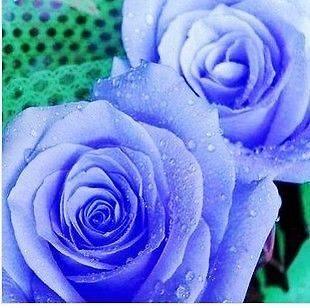 20 x Rose Flower seeds multicolour plants Flowers grow Roses seeds
