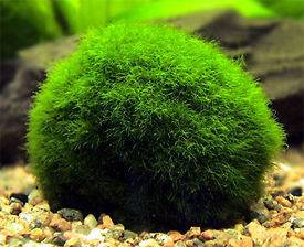 Moss Ball x5 live aquarium plant decoration package co2 flame java