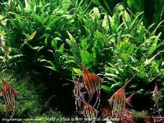 Java Fern  Live Aquarium Plant Moss Anubias Fish Tank