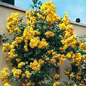 Rose Bush Seeds ♥ Royal Gold Rosa ♥ Climbing Rose Bush
