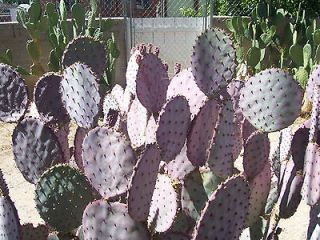 One Pad Prickly Pear Cactus Purple / Blue Green Yellow Flower Santa