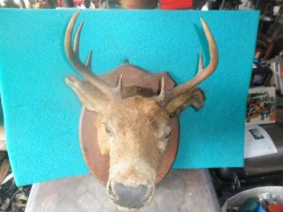 BUCK DEER HEAD 8 POINT LARGE WHITETAIL MOUNT TAXIDERMY CABIN LODGE LOG