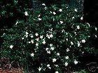 Gardenia jasminoides Shooting Star HARDY GARDENIA Seeds