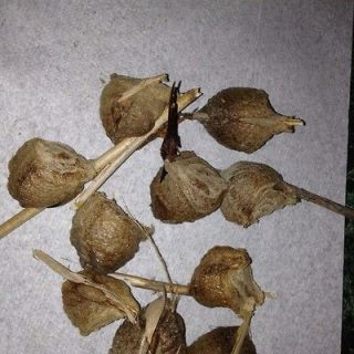 20 chinese praying mantis egg cases maryland returns accepted within