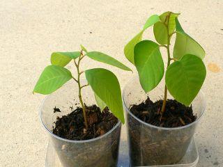 CHERIMOYA *** 2 plants! Annona cherimola Seedling Rooted Plant