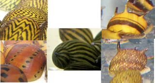 Pack Variety of Live Nerite Snails for Your Fish Tank Aquarium