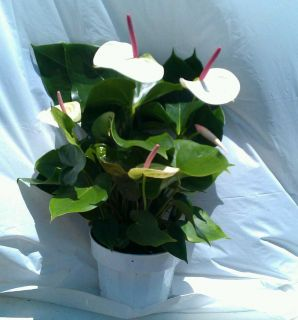 White Heart Anthurium plant in 6 inch pot with Flower Tropical