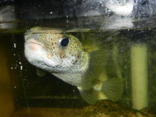 Puffer Live Fish Live Saltwater Fish Fish Tank Live Shark