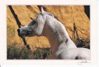 Ansata Nile Pascha Egyptian Arabian Horse Postcard Gabriele Boiselle
