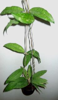 Hoya finlaysoni​i Large Leaves Rare Plant 1 Pot