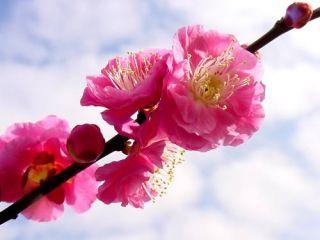 Japanese Apricot Chinese Plum Prunus Mume Tree Seeds