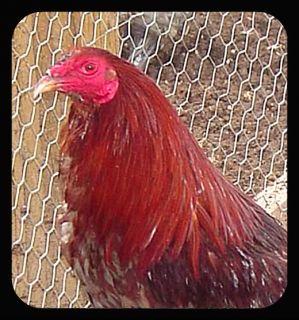 PUMPKIN HULSEY GAMEFOWL Chicken Hatching Eggs 10+