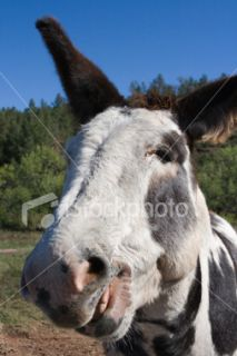 Baudet, Braiment, Dakota du Sud, Humour, Visage  Stock Photo  iStock