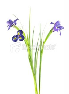 stock photo 16213377 flower clipping path
