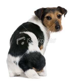 Rear view of Jack Russell Terrier, sitting and ing back.