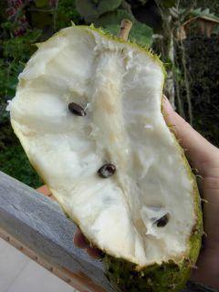 Soursop 3 Live Plants Annona Muricata Tropical Fruit Tree Guanabana 4