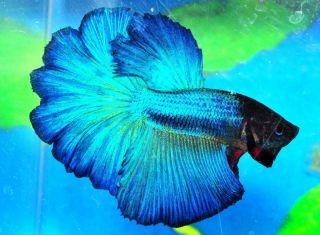 Blue Male Halfmoon Betta Live Fish VM1BL