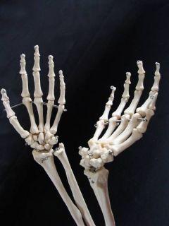 Human Body Skeleton Arms Hands Wrist Bones Medical Anatomical Anatomy