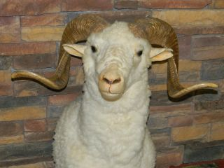 BIG HORN WHITE RAM SHEEP TAXIDERMY HEAD MOUNT DEER ANTLER BUCK HUNT