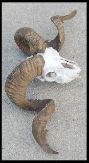 Taxidermy BIG HORN SHEEP Ram Goat Horn Antlers w Skull NICE CURL