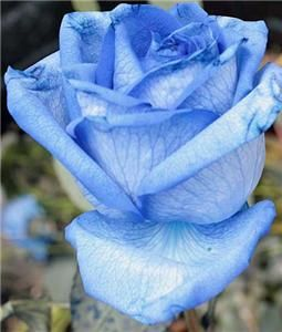 Blue Rose Seeds RARE China Long Stem Home Flower Garden House Plant