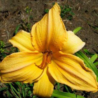 PRAIRIE BONANZA APRICOT DAYLILY  DF   LIVE PLANTS   PERENNIAL FLOWERS