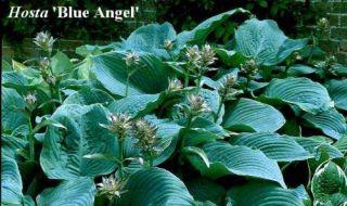 Hosta Blue Angel Large Blue Leaves Garden Plant