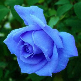20 x Flower seeds blue rose seeds Roses seeds plants Flowers grow