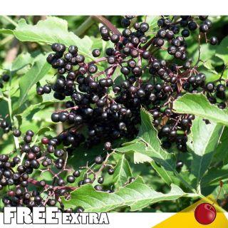 American Elderberry Sambucus canadensis 100 Extra Seeds Edible Useful