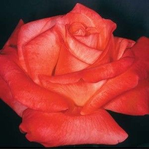 Rosa Cary Grant Hybrid Tea Rose