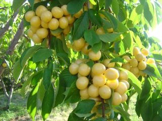 Anatolian White Cherry Tree 10 Fresh Seeds