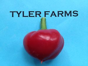 25 Hot Red Cherry Bomb Pepper Seeds Organic Chili Chile