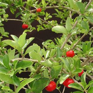 Barbados Cherry Tree Delicious Fresh Fruit on Your Patio