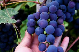 The Best Tasting Grapes 2012 Organic Concord Grape Seeds Excellent for