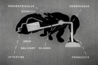 Historic Fly Life Cycle Diptera Larva Pupae Film DVD