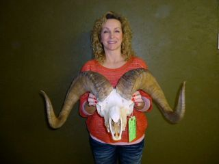 38 Dall Sheep Horns Skull Antlers Taxidermy Hunting Lodge Home Decor