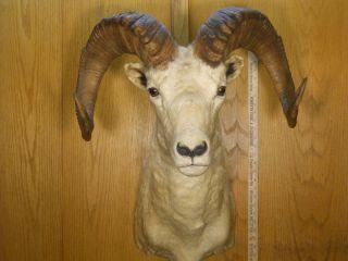 Alaskan Dall Sheep Mount