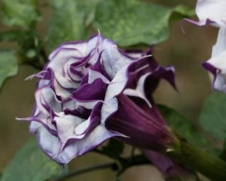 Datura Metel Double Purple Devil's Trumpets Seeds 15 Ct