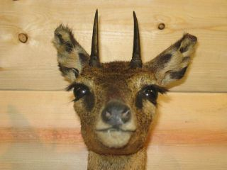 African Klipspringer Duiker Dik Dik Shoulder Mount Taxidermy Real Horn