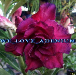 Adenium Obesum Desert Rose Queen Rose 50 Seeds Fresh RARE