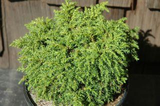 Cryptomeria Japonica Gyoku Ryu Dwarf Conifer Pot Size 1 Gal