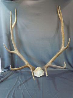 Taxidermy 10 Point ELK Deer Antlers w Partial Skull Mount Lodge Cabin