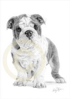 Dog English Bulldog Puppy Art Pencil Drawing Print A4 Signed Le of 50