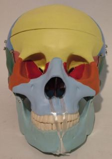Brand New Life Size Anatomy Skull Mannequin Head