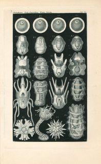 1898 ERNST HAECKEL MARINE SEA ANIMALS Antique Engraving Print