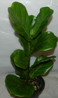 Ficus Lyrata Plant Fiddle Leaf Pandurata in 6 inch Pot About 22 Tall