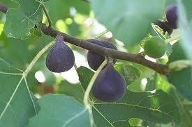 4 Sicilian Red Fig Tree Cuttings